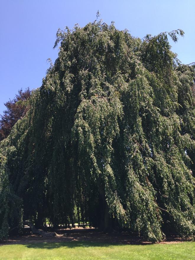 Tree in Mount Auburn Cemetery
