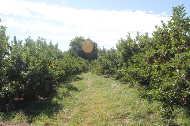 Apple picking at Drew Farms